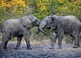 14673791-elephants-fight-in-liwonde-national-park-malawi